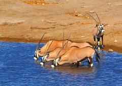 deer(0.0), springbok(0.0), impala(0.0), animal(1.0), antelope(1.0), gemsbok(1.0), mammal(1.0), fauna(1.0), oryx(1.0), wildlife(1.0),