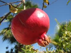pomegranate, branch, tree, macro photography, flora, fruit, food,