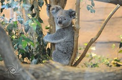 Koala - Photo of Saint-Flovier
