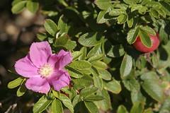 produce(0.0), food(0.0), rosa rugosa(0.0), flower(1.0), plant(1.0), rosa rubiginosa(1.0), rosa canina(1.0), flora(1.0), rosa acicularis(1.0),