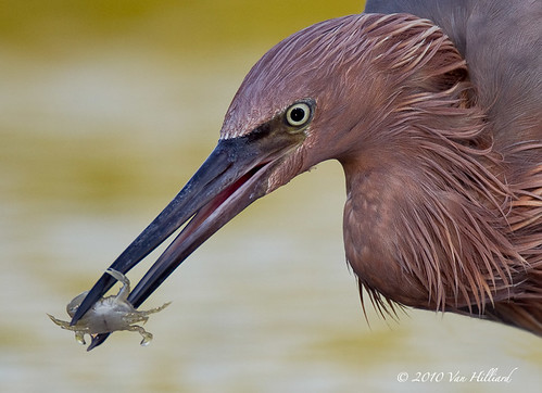 Reddish Egret with Crab