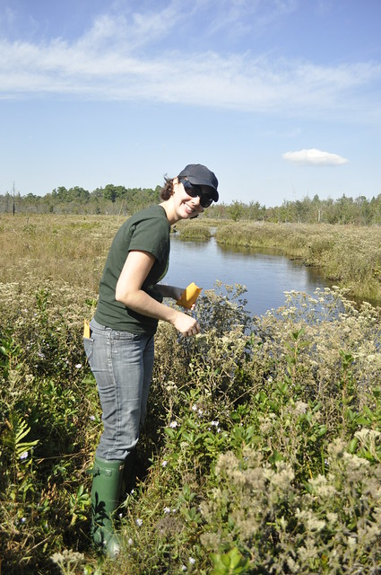 Tamara Tripp, assistant director of the Centennial Campaign, collecting Lachnanthes caroliniana (redroot). Photo by Anjali Satyu.