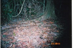 Mouse Deer sp.