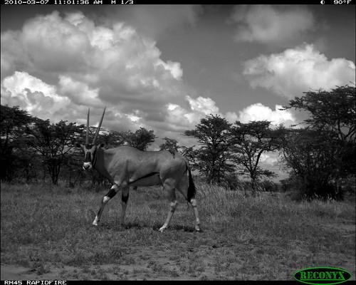 mpala oryxbeisa deerandantelope siwild:study=mpala siwild:studyId=mpalasets siwild:plot=oljogi geo:locality=kenya taxonomy:group=deerandantelope file:name=img0475jpg file:path=dpt37pt37cam62disc28bimg0475jpg sequence:index=1 siwild:location=mpala239 siwild:camDeploy=mpaladeploy688 taxonomy:species=oryxbeisa taxonomy:common=besiaoryx siwild:date=201003071101000 siwild:trigger=oljogiseq1222 besiaoryx sequence:length=5 siwild:imageid=kenyapic6487 sequence:id=oljogiseq1222 geo:lon=0357232 geo:lat=37045574 siwild:region=kenya BR:batch=sla0620101118055537 siwild:species=197 sequence:key=2