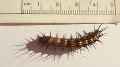 animal, caterpillar, invertebrate, insect, fauna,
