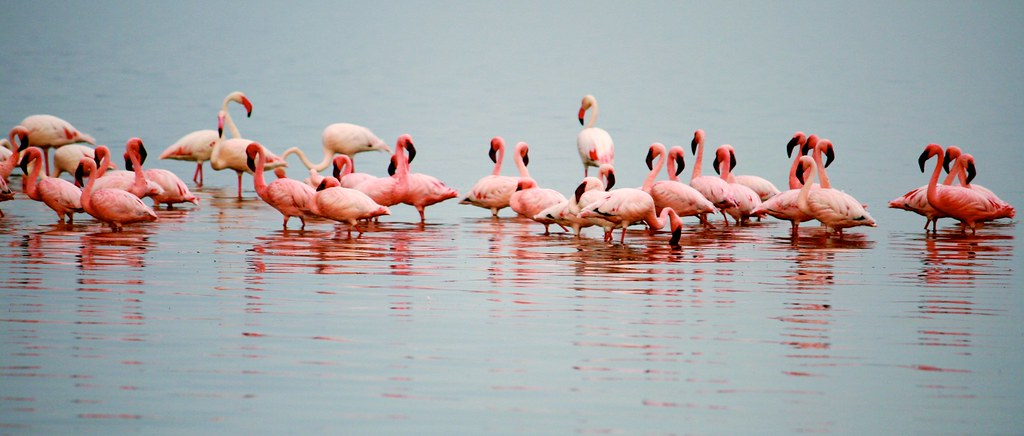 Lesser and Greater Flamingo of Lake Nakuru
