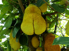 yellow, vegetarian food, flora, artocarpus, jackfruit,