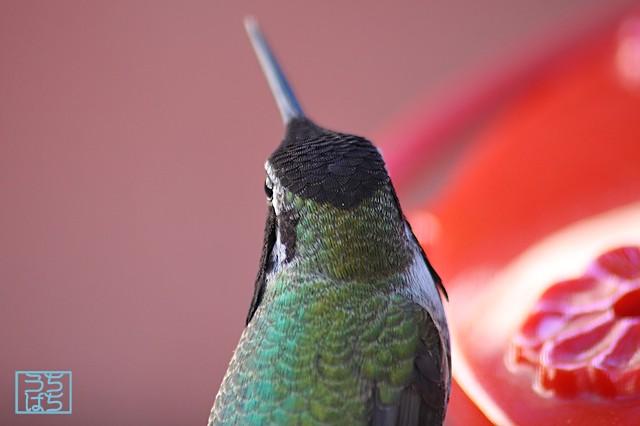 Anna's Hummingbird 112610
