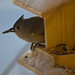 277/365  Tufted Titmouse