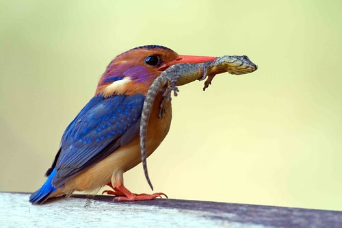 Pygmy Kingfisher with lizard