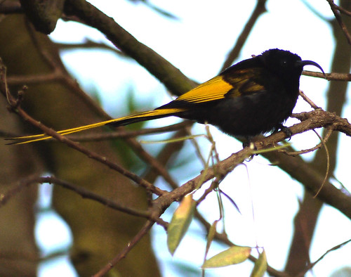 Golden-winged Sunbird - Sopa Lodge - Ngorongoro Crater 3