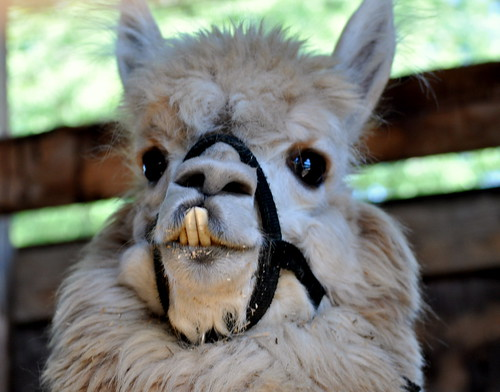 Cute Baby Llamas - Viewing Gallery