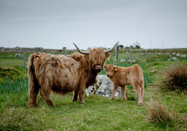 Highland Cow Family - Flickr CC Nick Jewell