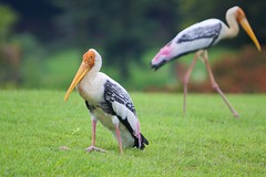 pelican(0.0), marabou stork(0.0), seabird(0.0), animal(1.0), wing(1.0), fauna(1.0), ciconiiformes(1.0), white stork(1.0), beak(1.0), bird(1.0), wildlife(1.0),