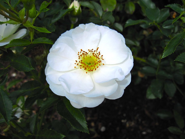 Rosa 'Innocencia'. Floribunda, introduced 2004