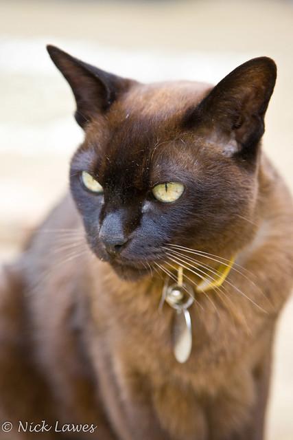 Бурма, фото породы кошек фотография картинка