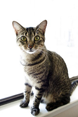 animal, tabby cat, small to medium-sized cats, pet, mammal, american shorthair, cat, whiskers, domestic short-haired cat,