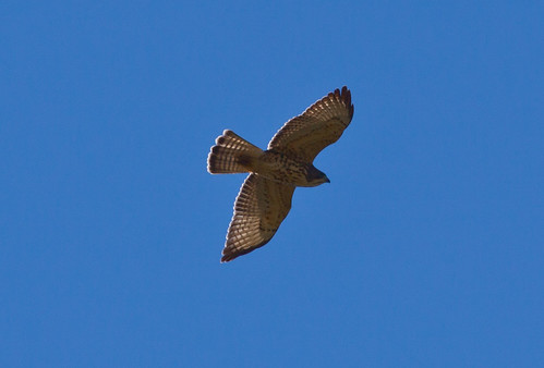 Young Broad-winged Hawk flying over Hawk Ridge