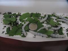 bombyx mori, larva, invertebrate, insect,