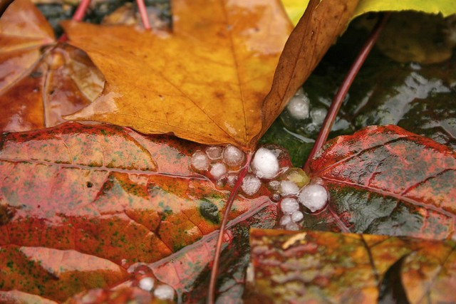 Orange Leaf on Red Variegated Leaf With Hail
