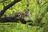 Tiger resting in a tree - Bandhavgarh National Park, India