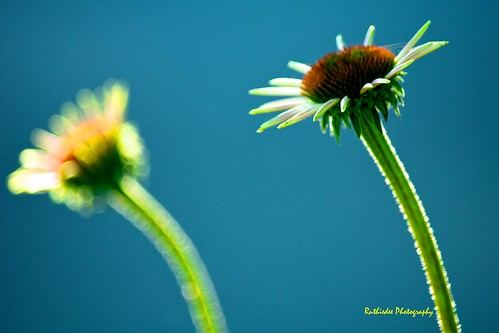 flowers blue dof echinacea echoes bokeh background pair foreground simplyflowers nikond300 thecelebrationoflife