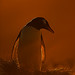 gentoo_penguin_andyrouse_AA016615_00006 by wildmanrouse