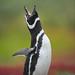 jackass_penguin_andyrouse_AA027166_00004 by wildmanrouse