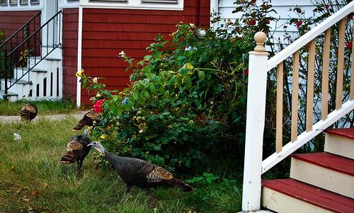 Wild turkeys in suburbia