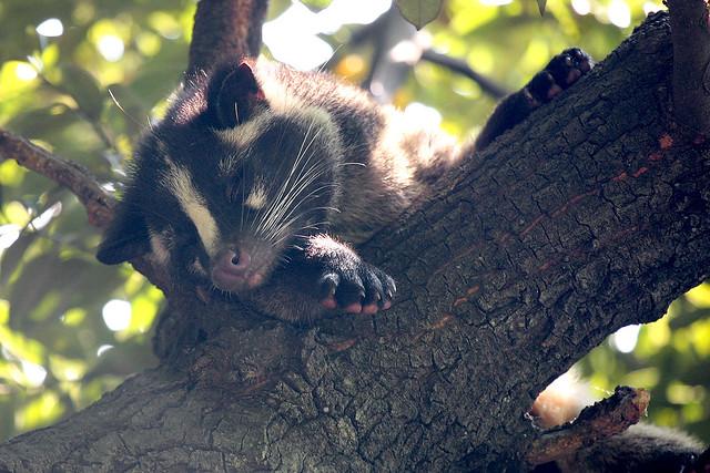 Masked Palm Civet - 02