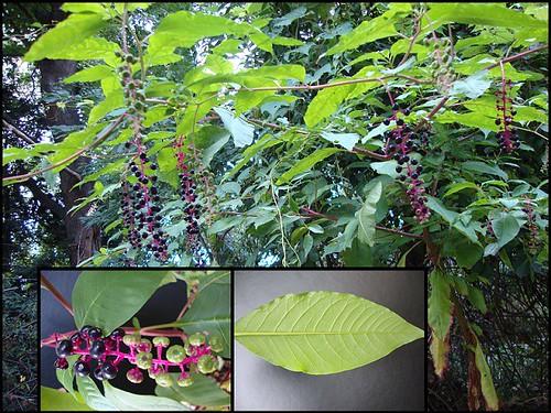 phytolacca americana poisonous