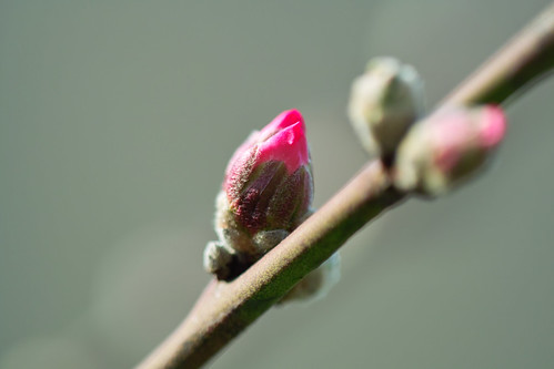 Buds of Almond