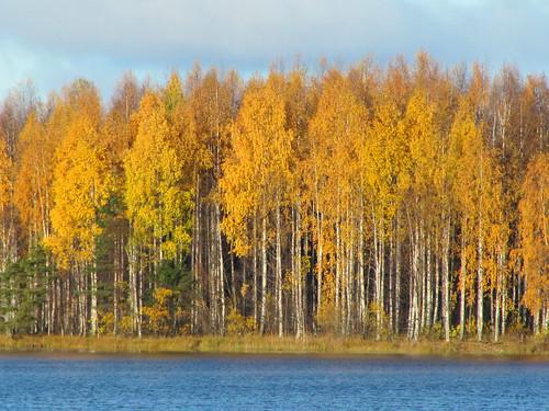 blue autumn trees lake fall water yellow forest suomi finland october oulu birches vesi metsä syksy sininen puut ruska lokakuu keltainen kuivasjärvi koivut vanagram