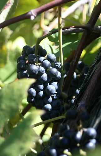 vacation illinois winery grapes