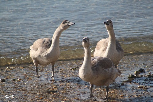 Three Cygnets passing the time of day in St.Mawes by Claire Stocker (Stocker Images)