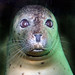 Small photo of Aquar.seal.Polly