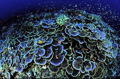 Coral at Jarvis Island NWR