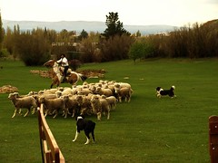 cattle-like mammal, grass, sheeps, sheep, mammal, shepherd, herd, herding, meadow, pasture, rural area, grassland,
