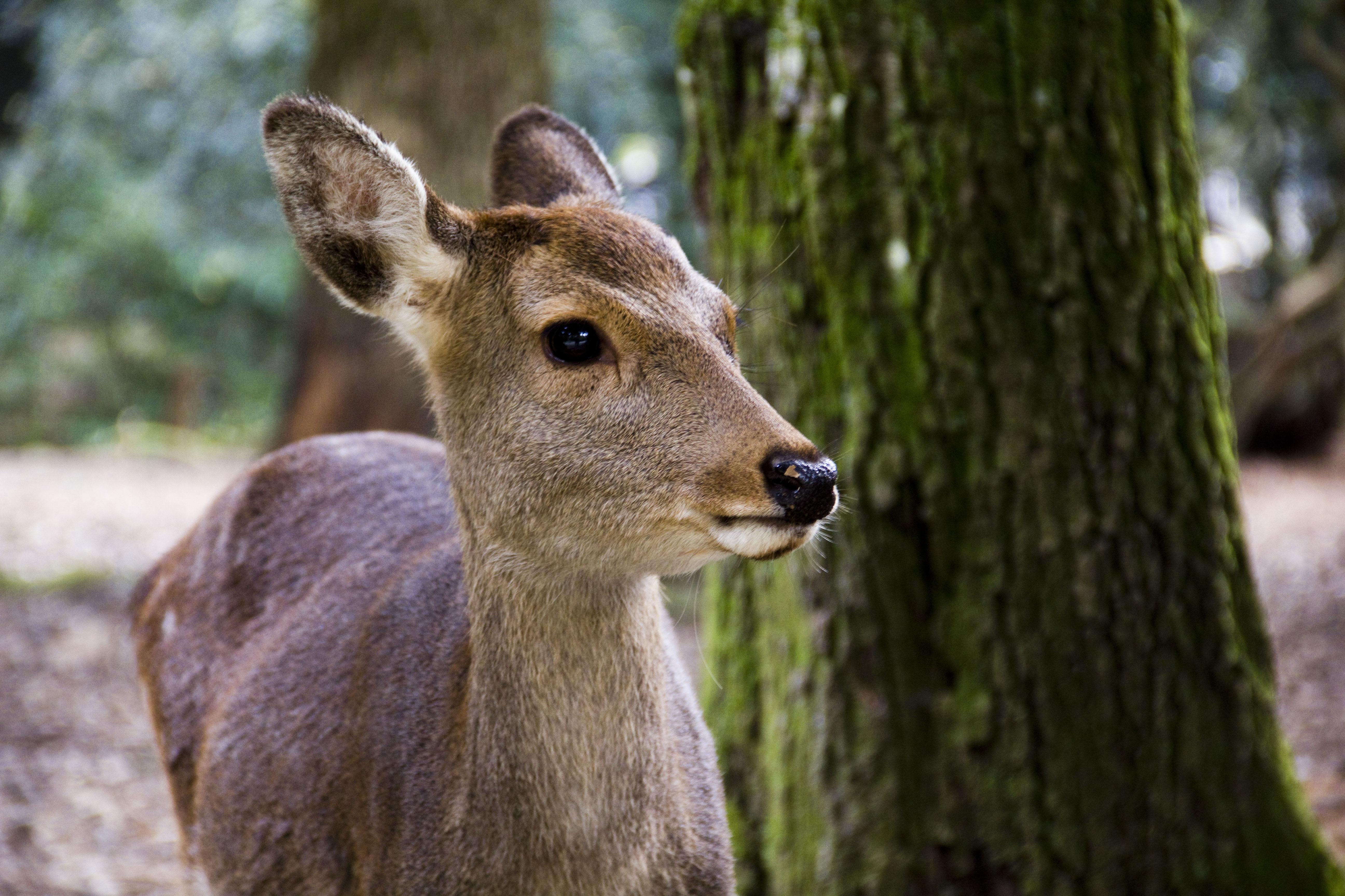 cu deer