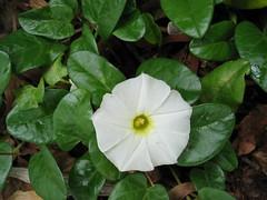 shrub(0.0), annual plant(1.0), ipomoea violacea(1.0), flower(1.0), datura inoxia(1.0), leaf(1.0), ipomoea alba(1.0), plant(1.0), flora(1.0), green(1.0), produce(1.0),