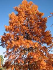 Bald Cypress in Autumn Lake Crabtree NC 0453
