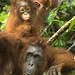 Orang-Utan. Mother and Baby.