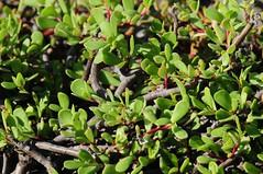 evergreen, shrub, pistacia lentiscus, leaf, plant, arctostaphylos uva-ursi, herb, flora, green,