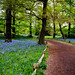 UK - Richmond: Bluebell Carpet