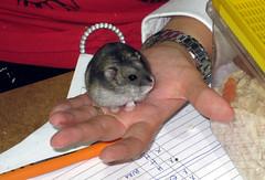 hamster(0.0), muroidea(0.0), animal(1.0), rodent(1.0), pet(1.0), chinchilla(1.0), gerbil(1.0),