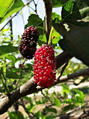 blackberry, evergreen, berry, red mulberry, plant, flora, fruit, mulberry,