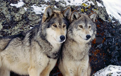 [Free Images] Animals 1, Wolves, Animals - Couple ID:201112121000