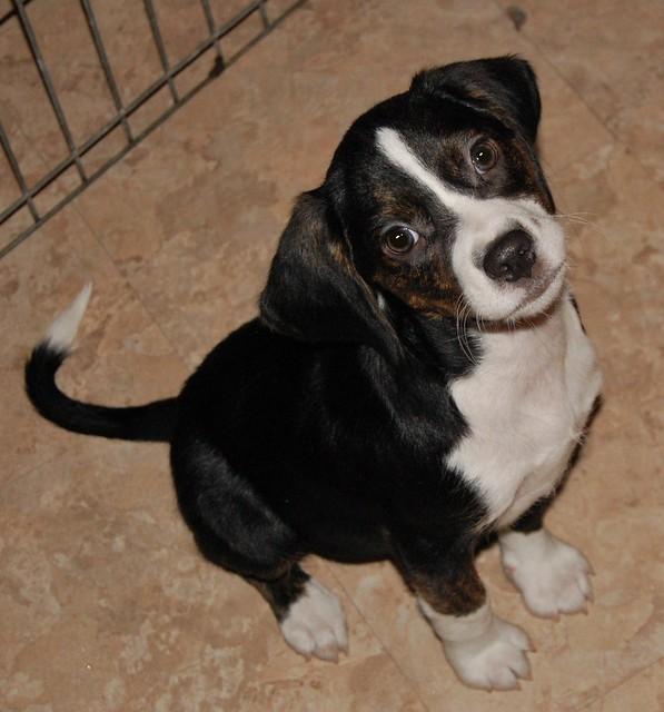 Beagle Dog Rescue Ontario