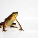 Atelopus glyphus female - Pirre Harlequin frog