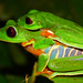 Small photo of Red eyed tree frog amplexus